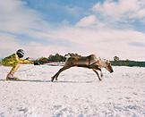 FINLAND, Hemet, Arctic, a reindeer race during a Sami festival in Hemet.