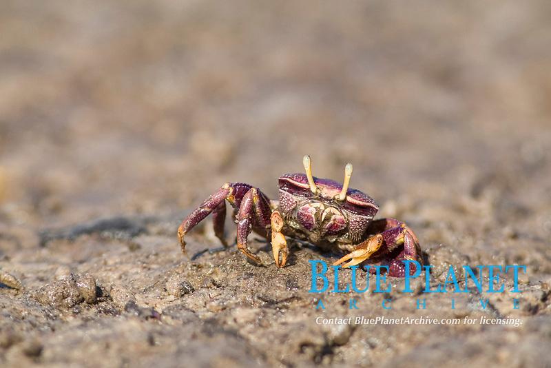 West African Fiddler Crab (Uca tangeri), adult female filtering sand, Sine-Saloum Delta, Senegal, Africa
