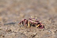 West African Fiddler Crab (Uca tangeri), adult female filtering sand, Sine-Saloum Delta, Senegal, Africa