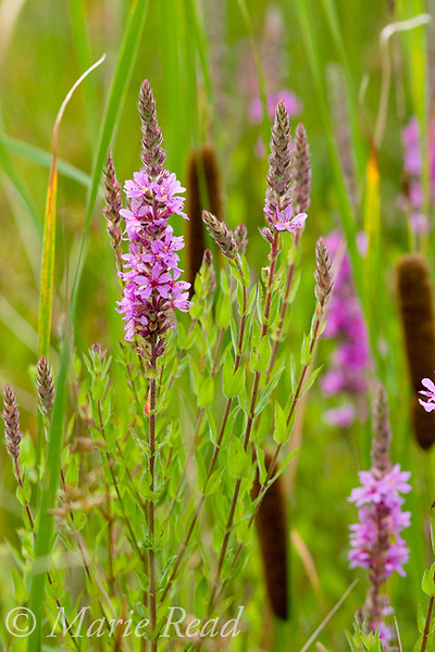 Purple Loosestrife (Lythrum salicaria), flowering amid cattails (Typha sp.). Purple Loosestrife is an introduced plant that invades and degrades freshwater wetlands, New York, USA