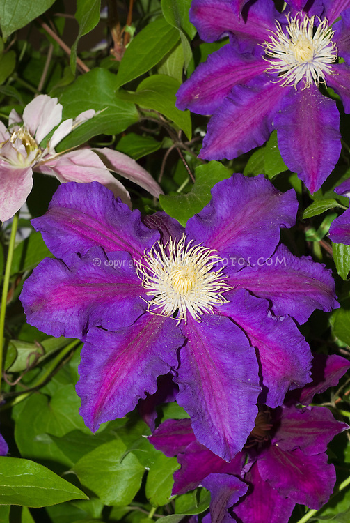 Clematis Nuit de Chine climbing vine purple with red stripes and  yellow anthers