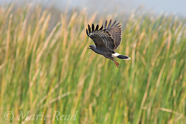 Snail Kite  (Rostrhamus sociabilis), male in flight, Osceola County, Florida, USA