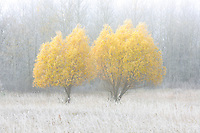 WIllow trees in autumn colors duirng a foggy morning<br /> Birds Hill Provincial Park<br /> Manitoba<br /> Canada