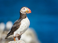 Puffin perched on rock with ocean in background