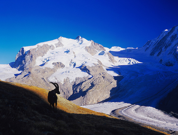 Alpine Ibex, Capra ibex ibex, silhoutted in front of monte rosa mountain, Zermatt, Switzerland,