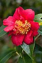 Camellia japonica 'Gosho-Gurama', mid March.