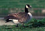 Canadian Goose (Branta canadensis)  waddle waddling
