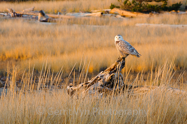 Snowy Owl (Bubo scandiacus) still hunting from a prominent perch just before sunset. Grays Harbor County, Washington. December.