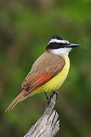 Adult Great Kiskadee (Pitangus sulphuratus). Starr County, Texas. March.
