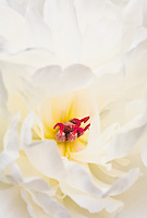 Extreme closeup of white Peony flower with red pistil (carpel).