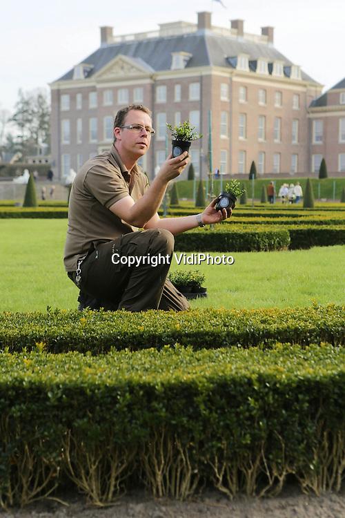 """Foto: VidiPhoto..APELDOORN - Robert Rozenboom, tuinman van Paleis Het Loo, bekijkt en verwerkt de eerste van in totaal 80.000 Ilex-planten in de tuinen van het paleis in Apeldoorn. De beroemde buxustuin werd enkele jaren geleden getroffen door een schimmel die de struikjes liet verdrogen en afsterven. De nieuwe Ilex-planten, de Japanse hulst, zijn resistent tegen schimmels en lijken sterk op buxus. Naar verwachting is deze tuinrenovatie van Paleis Het Loo eind mei voltooid. Kwekerscollectief Ilex Select is verantwoordelijk voor de levering van de Ilex-planten. Kweker en woordvoerder namens Ilex Select Ronald Stolwijk: """"Na jaren van uitgebreid onderzoek op locatie is Ilex crenata Dark Green als beste getest. Wij zijn erg trots dat deze Ilexsoort zo'n prominente rol krijgt in de tuinen van Paleis Het Loo.""""  Foto: Op de voorgrond de zieke buxus..."""