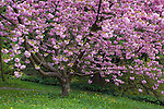 Seattle, WA <br /> Kwanza cherry trees in bloom in the Washington Park Arboretum