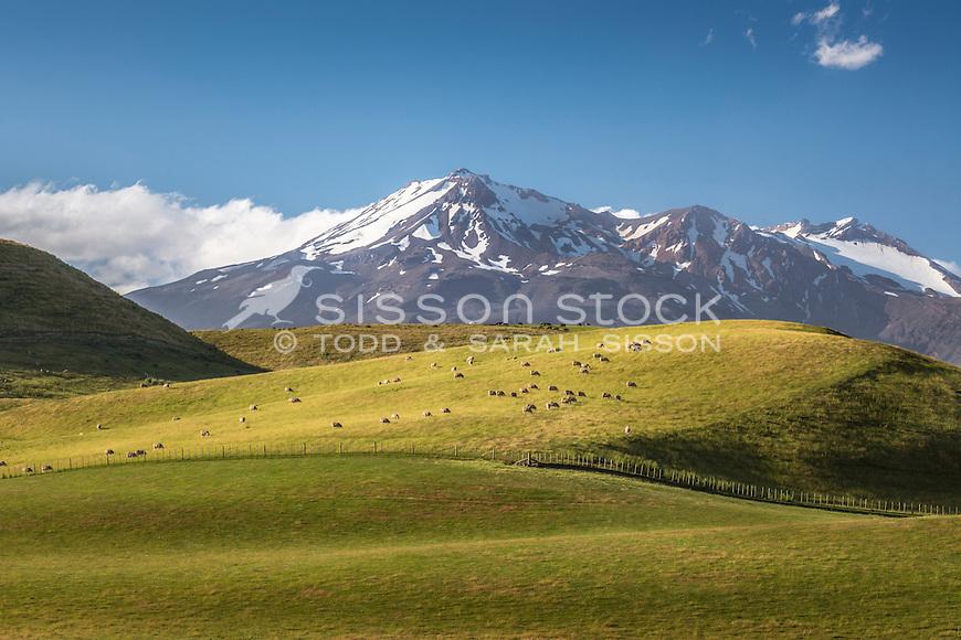 Sheep grazing near Oakune, New Zealand - stock photo, canvas, fine art print