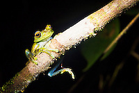 Tree Frog in the Choco Rainforest, Ecuador. This area of jungle is the Mashpi Cloud Forest in the Pichincha Province of Ecuador, South America