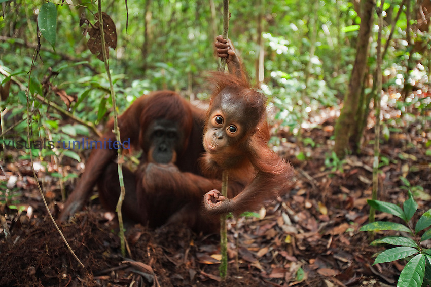 Bornean Orangutan male baby aged 8-9 months holding a liana while his mother digs for roots to eat (Pongo pygmaeus wurmbii), Camp Leakey, Tanjung Puting National Park, Central Kalimantan, Borneo, Indonesia.