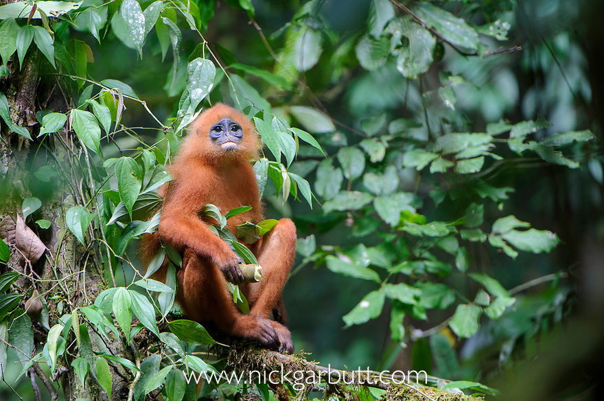 Maroon Langur or Red Leaf Monkey (Presbytis rubicunda) in rainforest canopy. Danum Valley, Sabah, Borneo.