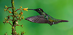 Feeding - Magnificent Hummingbird