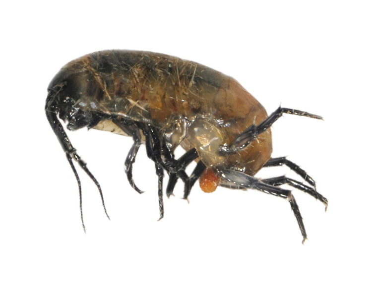 landhopper<br /> Arcitalitris dorrieni