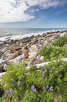 Boulder beach of Cape Fairweather, Gulf of Alaska, Pacific ocean coast, Glacier Bay National Park, Southeast, Alaska