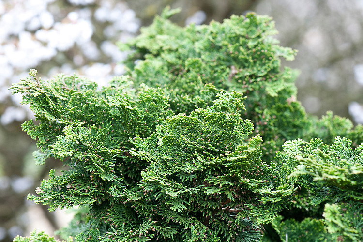 Hinoki cypress (Chamaecyparis obtusa 'Nana').