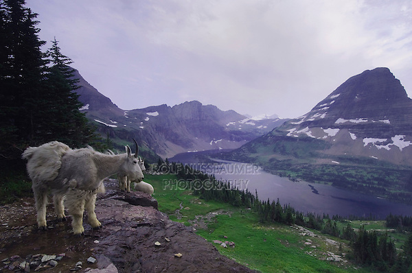 Mountain Goat,Oreamnos americanus, adults with summer coats one shedding winter coat over Hidden Lake,Glacier National Park, Montana, USA, July 2007