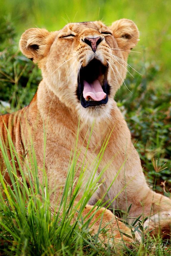 Female African lion in Murcheson Falls National Park in northwestern Uganda. (Rick D'Elia)
