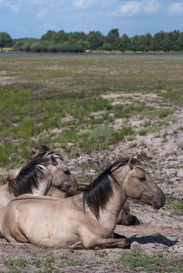Konik (Equus caballus)