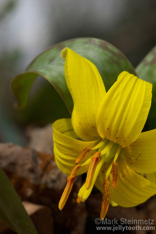 Trout Lily (Erythronium americanum), a wide ranging spring ephemeral woodland wildlflower native to eastern North America. Known by many other common names--such as Adder's Toungue and Yellow Fawn Lily-- often in reference to the resemblance of the mottled leaves to a fawn or brook trout. Ohio, USA.
