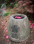 Seattle, Washington:<br /> Kubota garden, camellia blossoms in and around stone vase