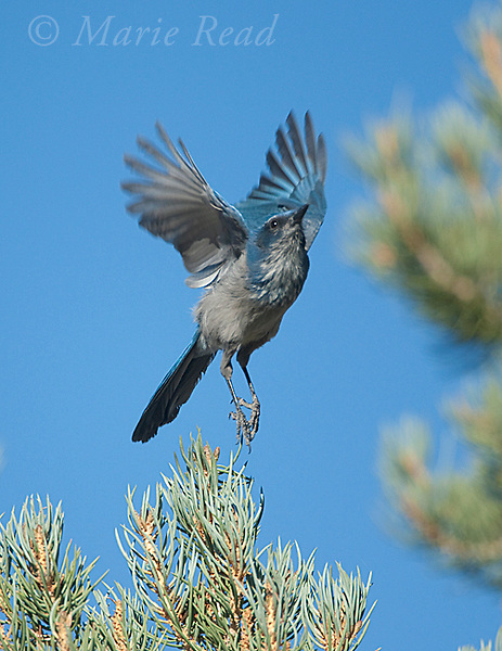 Western Scrub-jay (Aphelocoma californica), taking flight from perch in  Pinyon PIne, Mono Lake Basin, California, USA