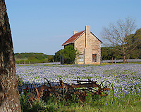 Bluebonnets, old farmhouse with farm implements near Marble Falls, Texas