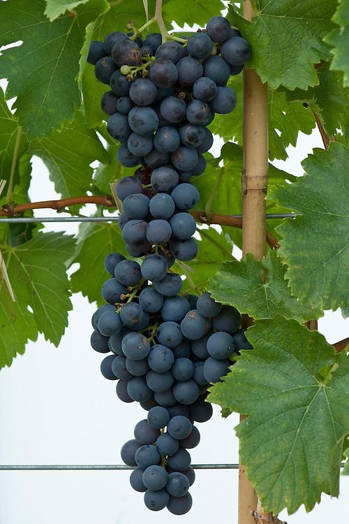 Grape 'Alicante', glasshouse, late September.