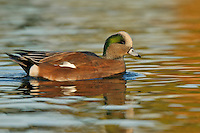 American Wigeon - Anas americana - Adult male