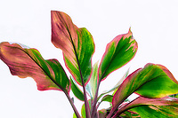 Multi colored close up of ti plant leaves. Mauai, Hawaii