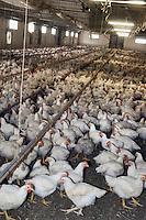 """- chickens breeding of """" Amadori """" group in Cesena....- allevamento di polli del gruppo """"Amadori"""" a Cesena"""