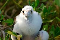 great frigatebird chick, Fregata minor, Laysan, Papahanaumokuakea Marine National Monument, Northwestern Hawaiian Islands, Hawaii, USA, Pacific Ocean
