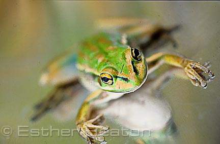 Green and Golden Bell Frog (Litoria aurea).sitting on reflective surface. Sydney, New South Wales. Threatened species