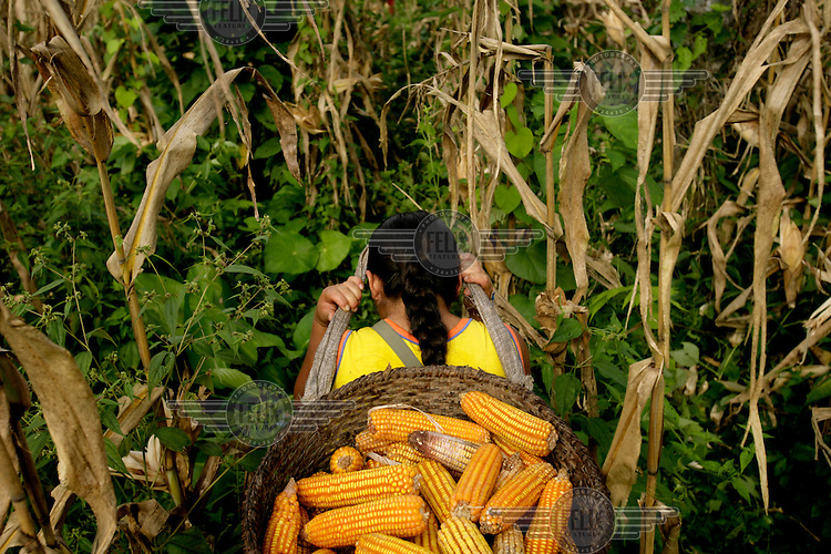 Blanca Ashanga harvests corn in a field in the Quichua community of San Pedro Sumino. All the community works in what they call a 'Minga' where everyone contributes and harvests for the community. The proceeds of selling the corn will be used for services in the community.