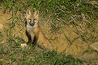 Red Fox Kit stretching outside its den