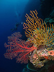 Siaes Tunnel, Palau -- Colorful coral and divers on a sea wall.