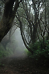 A track through a mist covered forest, El Hierro, Canary Islands,Spain.