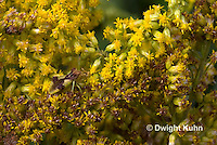 AM01-541z  Ambush Bug camouflaged on goldenrod, Phymata americana