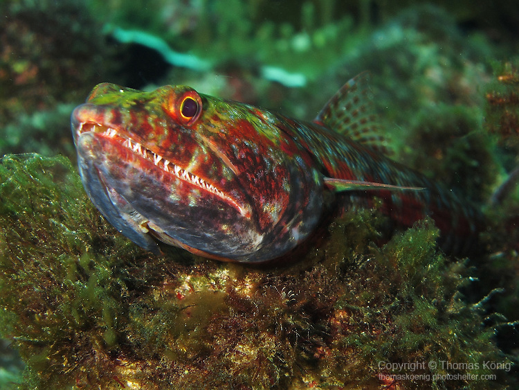 Shi Lang, Green Island - Reef lizardfish perched on a rock.<br /> <br /> Lizardfish are bottom-dwelling fish, living in shallow coastal waters. They prefer sandy environments, and typically have body colors that help to camouflage them in such environments.<br /> <br /> They have mouths full of sharp teeth, even on the tongue!