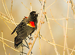 Red-winged Blackbird male displaying
