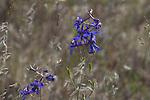 Highland Larkspur, Delphinium nuttallianum, Hanford Reach National Monument, Wahluke Slope, shrub steppe habitat, grassland, Columbia Basin, eastern Washington, Washington State, Pacific Northwest, USA, North America,