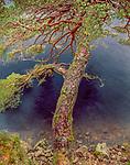 Scots pine (Pinus sylvestris), Glen Albyn, Scotland, UK