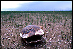 MAY 21, 2001. LAKE OKEECHOBEE, FLORIDA. Lake conditions are at about 9.5 three feet under average. Conditions are expected to get worse in the next few months. A turtle shell sits empty from the drought.