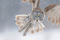 A great grey owl in flight during a snow storm