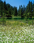 Mt. Baker-Snoqualmie National Forest, WA<br /> Avalanche lilies (Erythronium montanum) blooming on the lakeshore of Lake Christine in Glacier View Wilderness, part of the Nisqually River Drainage