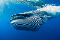 Bryde's whale, Balaenoptera edeni, with throat pleats expanded after feeding on a bait ball of sardines, pilchards, or Californian pilchards, Sardinops sagax caeruleus, Golden Gate Bank, Cabo San Lucas, Baja California, Mexico, Pacific Ocean